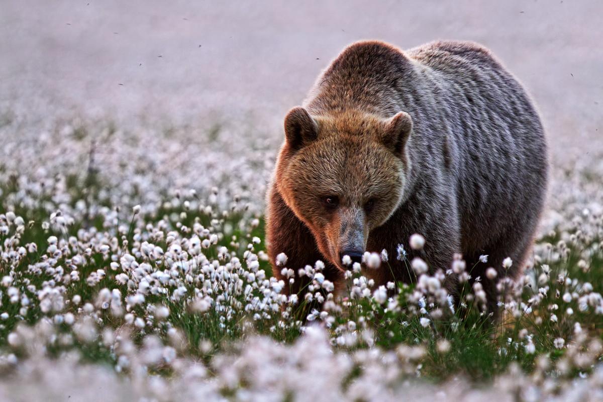 медведь и цветы хлопка